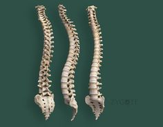Human Spine 3D Models