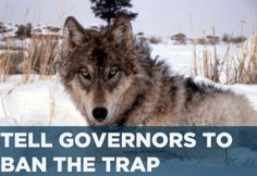 Tell Governors: End the Inhumane Trapping of Wolves