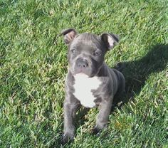 #pitbull #pit #puppy