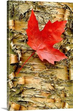 Red Maple on Peeling Birch | Mike Moats
