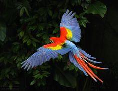 Macaw http://birdsphotographer.com/wp-content/uploads/2011/03/macaw_3850.jpg