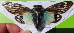 Lot of 10 Giant Blue Winged Asian Cicada Tosena splendida FAST SHIP FROM USA