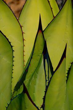 Agave shawii ssp. goldmaniana | by Joyce-Tex-Buckner