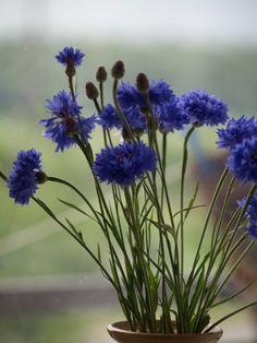 ♥ cornflower blue…