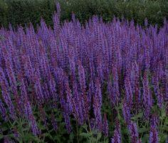 Salvia x superba 'Superba' Plants For Raised Beds, Shades Of Violet, Planting Plan, Herbaceous Perennials, Colorful Garden, Salvia, Warm Colors, Garden Inspiration, Shrubs
