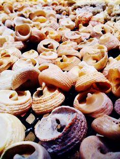 pink shells found on the north shore, Ohau, Hawaii