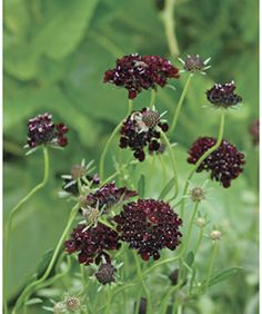 Tired of the same old thing? These underused showstoppers can breathe new life into beds and containers Sun Plants, Shade Plants, Purple Garden, Shade Garden, Scabiosa Columbaria, List Of Flowers, Fine Gardening, Black Flowers, Annual Plants