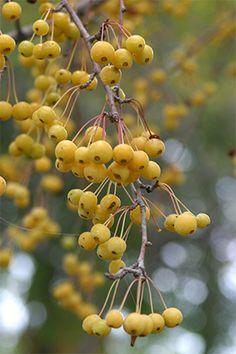 Flowering Crabapples – Four-season beauty | Viette's Views