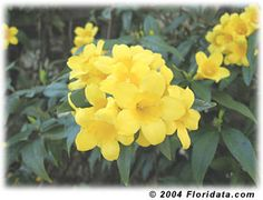 Carolina jasmine along the fence along with confederate jasmine - one to bloom when it's cold, and one for warm weather :)
