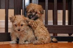 Morkies are a mix of Maltese and Yorkie - and they're ADORABLE!