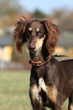 The Saluki was bred for speed, strength, and endurance, qualities that are evident in their long, narrow head and sleek yet muscular body. A Saluki is easy to groom, but can be challenging to train. Beautiful but reserved, the Saluki is affectionate without being overly demonstrative. They're happy to prove their loyalty through quiet companionship.