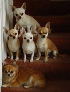 Stairstep cuties #chihuahua #Lovablechihuahua