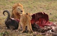Leon Africano Caracteristicas Que Come Donde Vive Reproduccion