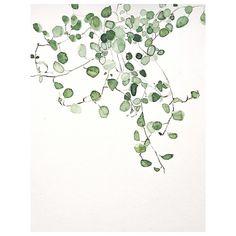 Muehlenbeckia Complexa #urbanbotanics #watercolor #muehlenbeckiacomplexa
