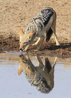Black Backed Jackal/ Namibia