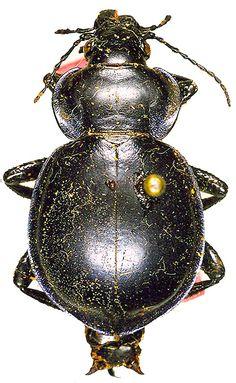 Calosoma (Callisthenes) pumicatus pumicatus s.str.