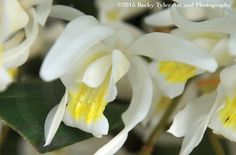 Coelogyne Cristata Orchid Fine Art Photo Print by BeckyTylerArt