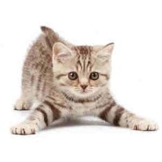 American bobtail kittens california