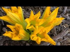 SQUASH Garden BLOSSOMS,  All WHAT you NEED to KNOW - Identify, Hand Poll...