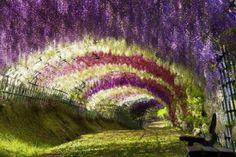 Marvellous Japan's Kawachi Fuji Garden