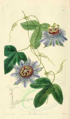 Passion vine illustration - circa 1838 can't help remembering the John of God always prescribes passionflower herb, after and as a part of any re-calibration. Vintage Botanical Prints, Botanical Drawings, Illustration Blume, Botanical Illustration, Botanical Flowers, Botanical Art, Passion Fruit Flower, Merian, Vides