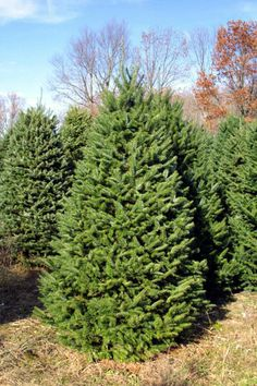 evergreen tree with long needles | ... outstanding needle retention make this evergreen a holiday favorite