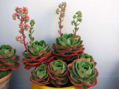 Echeveria 'Mandala' is an evergreen perennial succulent with compact rosettes that grow up to 8 inches cm) in diameter. The leaves are spoon-shaped. Potting Soil For Succulents, Succulent Pots, Planting Succulents, Planting Flowers, Blooming Succulents, Flowering Succulents, Cacti And Succulents, Home Garden Plants, Nature Plants