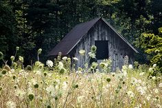 Barn with Queen Anne's Lace | by Rob Travis