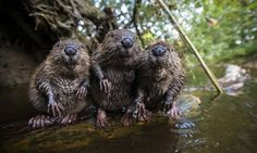From beavers to birds and a baby rhino, the Guardian picture desk has selected its pick of the year's animals photographs Baby Animals, Funny Animals, Cute Animals, Baby Biber, Beautiful Creatures, Animals Beautiful, Le Castor, Cutest Animals, Savages