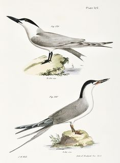 Marsh Tern (Sterna anglica) Roseate Tern (Sterna dougalli) illustration from Zoology of New york - by James Ellsworth De Kay Vintage Bird Illustration, Vintage Birds, New York Public Library, Zoology, Free Illustrations, Bird Prints, Natural History, Yorkie, Free Images