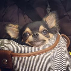 Chihuahua's love shopping with Mommy