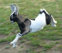 Anglo-Nubian goat kid learning to fly! Big Dog House, Nubian Goat, Raising Farm Animals, Billy Goats Gruff, Sheep Pig, Goat Art, Beautiful Farm, Goat Farming, Baby Goats