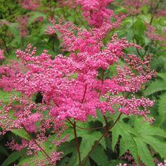 Filipendula purpurea - Reine des Près La Filipendula purpurea ou filipendule pourpre, est une belle vivace de sol lourd aux corymbes de fleurs rose fuschia très lumineux qui poussent au-dessus d'un grand feuillage découpé.