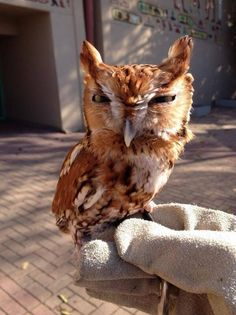 The Memphis Zoo tweeted this picture of their screech owl today pic.twitter.com/rzrwVZhG6g