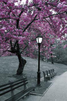 Shop for New York Central Park Blossom Print x with Contemporary Poster Frame.