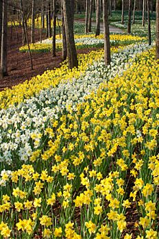Daffodils at Gibbs Gardens, Ball Ground, GA