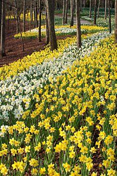 Daffodils at Gibbs Gardens, Ball Ground, GA