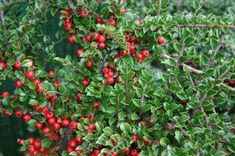 Cotoneaster - leaves are red in autumn! http://www.thepottedgarden.co.uk/product/cotoneaster-horizontalis/
