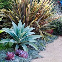 Pink Echeveria 'Afterglow' dots the carpet of gray-blue Dymondia margaretae, repeating the hues of the larger sculptural accent plants:  bronze-tinged 'Sundowner' phormium is striking beside an icy blue Agave attenuata 'Nova'.