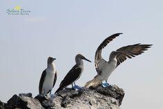 Blaufußtölpel auf den Galapagos-Inseln! Auf einer Reise nach Ecuador könnt ihr diese und viele andere Vögel beobachten!