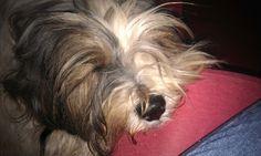 Il mio tibetan terrier