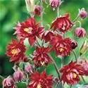 A lovely double columbine.