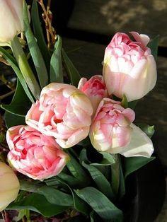 Double Tulip 'Angelique'