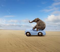 http://www.gettyimages.com/detail/photo/elephant-in-blue-car-high-res-stock-photography/135309779