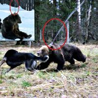 """Rescue Masha From """"Bear Baiting"""" Camp in Russia!"""