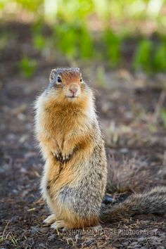 A Return Visit With My Little Friends - Columbian Ground Squirrels (Urocitellus columbianus) in Glacier NP Animal Photography, Nature Photography, Ground Squirrel, Friends Show, Glacier Np, Squirrels, Cute, Animals, Big