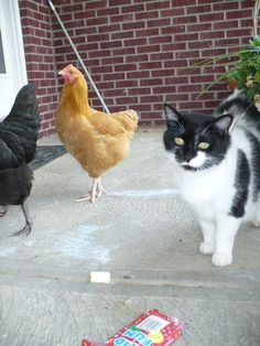 cat likes chicken too