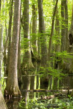 cypress swamp along the Natchez Trace, about 30 miles from Jackson, Mississippi