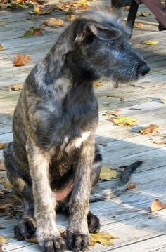 Time for a Irish Wolfhound Puppy Party! Irish Wolfhound Puppies, Irish Wolfhounds, Scottish Deerhound, Irish Terrier, Lurcher, Puppy Party, Irish Setter, Baby Dogs, Mans Best Friend