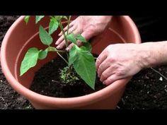 #Tomaten in Kübeln pflanzen